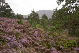 Caledonian forest