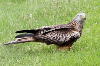 Red kite on ground