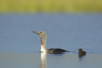 Red-throated Diver (summer-plumaged) and chick