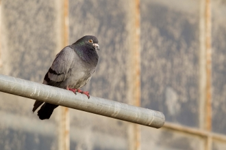 Rock dove/Feral pigeon