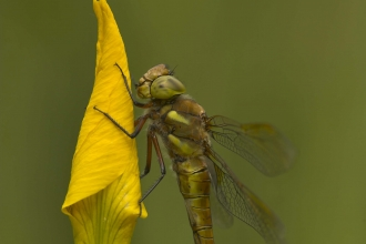 Norfolk Hawker