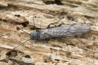 Common Medium Stonefly