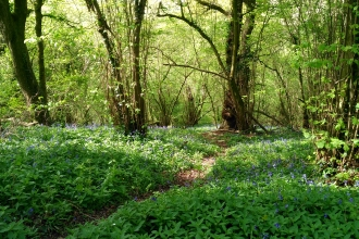 Footpath through bluebells in Aller Woods taken by Mark Green