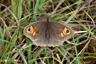 Meadow brown butterfly showing full open wings Bob Coyle Wildnet