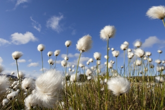 Cotton grasses take at ground level with wonderful blue sky background