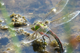 Emporer dragonfly resting on the surface of the water