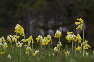 Close-up of several cowslips taken form ground level