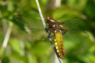 Small bodied chaser Becky Walters