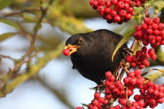 Male blackbird eating berries