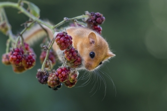Dormouse on blackberries