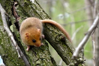 Dormouse on tree