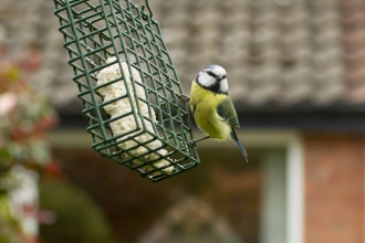 blue tit on feeder