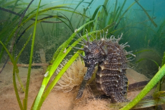 Spiny seahorse in seagrass