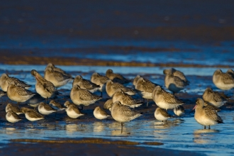 Bar-tailed godwits and dunlin