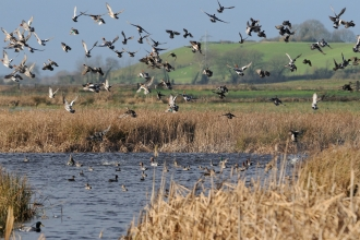 Wigeon, teal and lapwing flying over flooded marshes