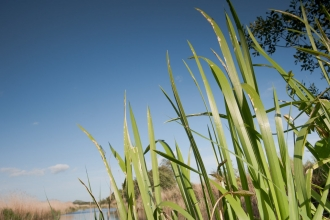 reeds on somerset levels