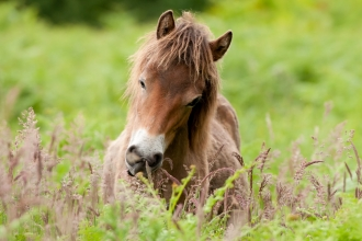 Exmoor Pony grazing at Street Heath, Somerset
