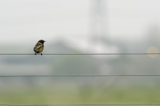 stonechat on telephone wires
