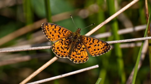Small Pearl-bordered Fritillary butterfly