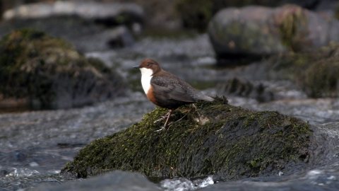 Dipper on a rock Brian Phipps