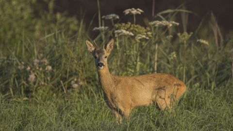 Side on photo of roe deer looking straight at camera