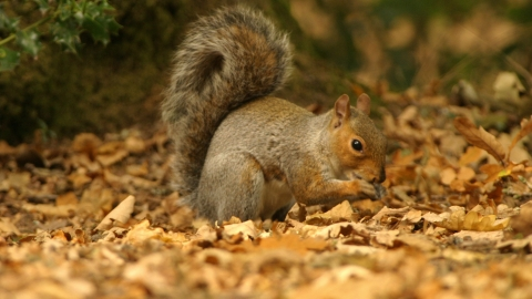Grey squirrel in autumn leaves Brian Phipps