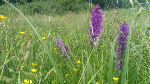 Southern Marsh Orchid West Coker