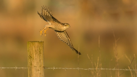 Sparrowhawk alighting from fence post