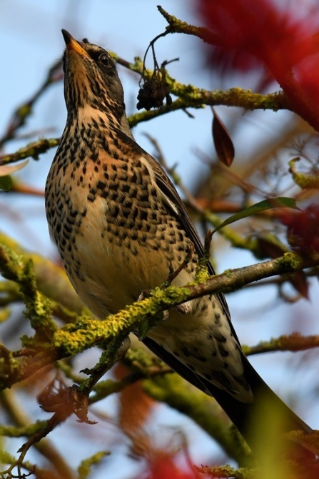 Fieldfare among berries
