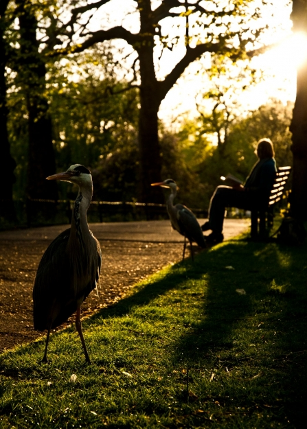 Grey herons near woman in park