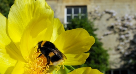 queen white-tailed bumblebee