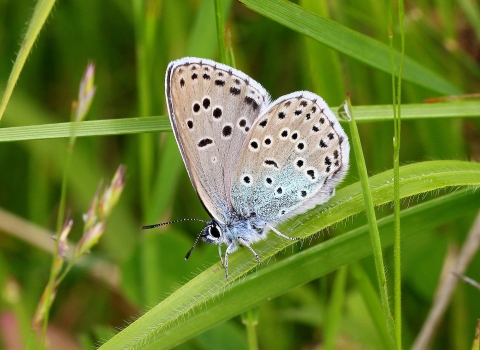 Large blue butterfly on a blade of grass John Lindley