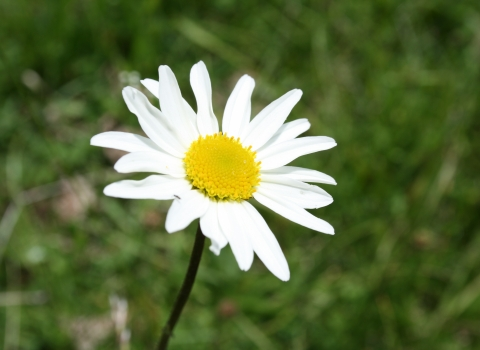 Close-up ox-eye daisy