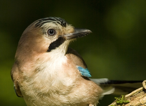 Close-up jay on an ivy covered branch