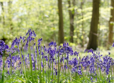 A sunny woodland with bluebells
