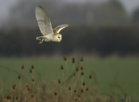 Barn owl over field margin