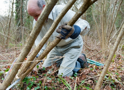 Sedgemoor Conservation Volunteers help with coppicing hazel in Great Breach Wood